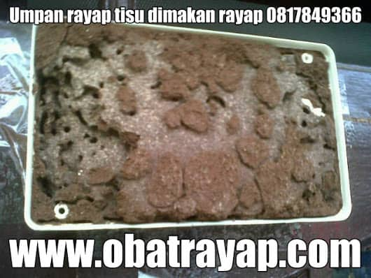 Ini contoh umpan rayap yang di makan dan sudah di bawa ke sarang rayap.