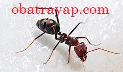 semut - 3 Musuh Alami Mampu Mematikan Rayap